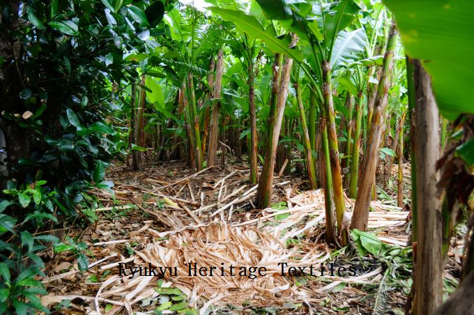 Basho Banana Trees_w